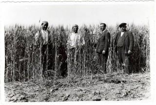 Un-tempo-gli-anni-40-del-secolo-scorso-il-grano-siciliano-era-alto-quanto-gli-uomini-e-le-donne